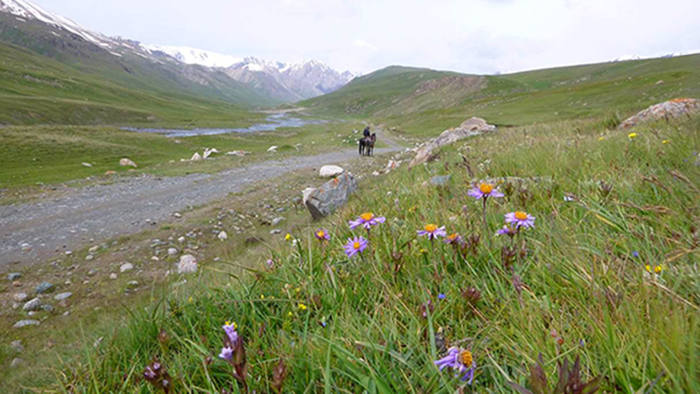 A new shade of mauve Aster alpinus, and two Gentian species: bright blue Gentiana karelinii and the taller Gentiana olivieri