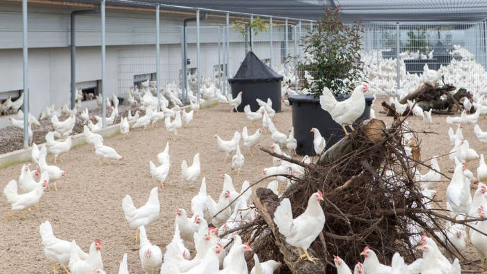 Happy-go-clucky: Dutch poultry business Kipster prides itself on producing carbon-neutral eggs