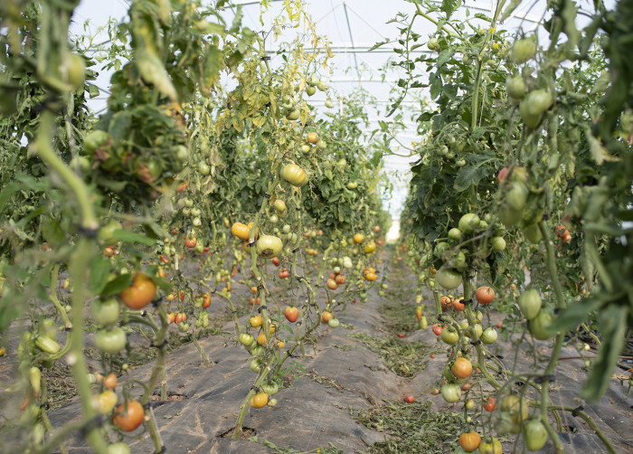 In these greenhouses of the gardens of Courances, they plant different variety of tomatoes.