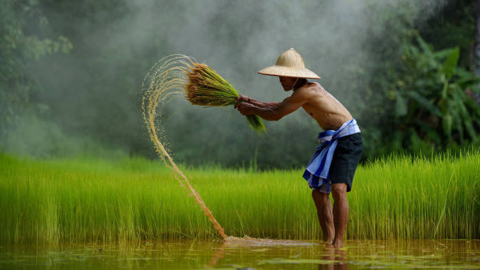 """Mandatory Credit: Photo by Saravut Vanset/Solent News/Shutterstock (9641977a) Farmer working in a rice field Farmers woking in rice paddy fields, Thailand - Oct 2017 *Full story: https://www.rexfeatures.com/nanolink/u862 Farmers carrying bundles of dripping rice plants create a stunning waterfall of droplets as they walk. The farmers tie bunches of fresh rice to bamboo sticks which shower water drop as they are pulled out of the flooded paddy field. In one photo a farmer can be seen ripping the rice from the ground, flicking an arc of water into the air. Policeman and amateur photographer Saravut Whanset captured the amazing photos in his home town of Wanon Niwat, Thailand, close to the Mekong River. Saravut, 46, said he had travelled to this place many times but had never taken photos of it. He said: """"It was an amazing moment for me, the sun was just setting and it created this golden aura around everything."""