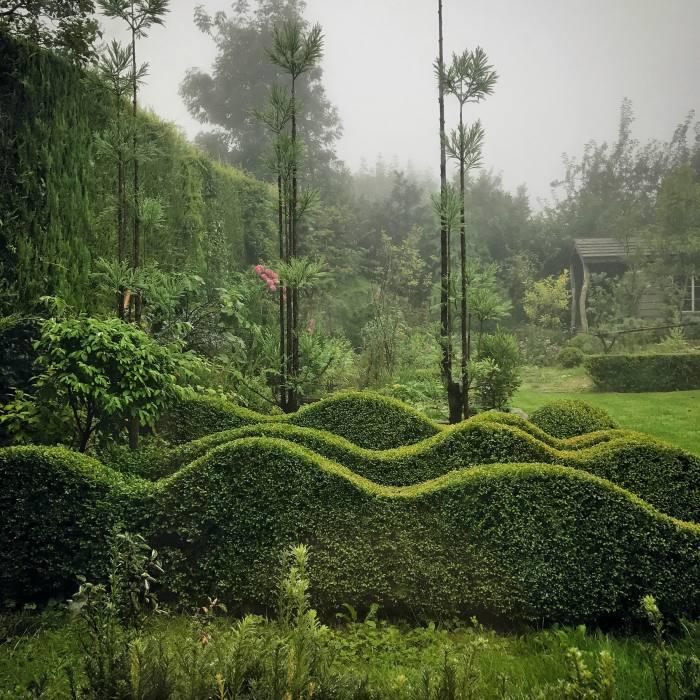 Box waves in Jake Hobson's Shaftesbury garden