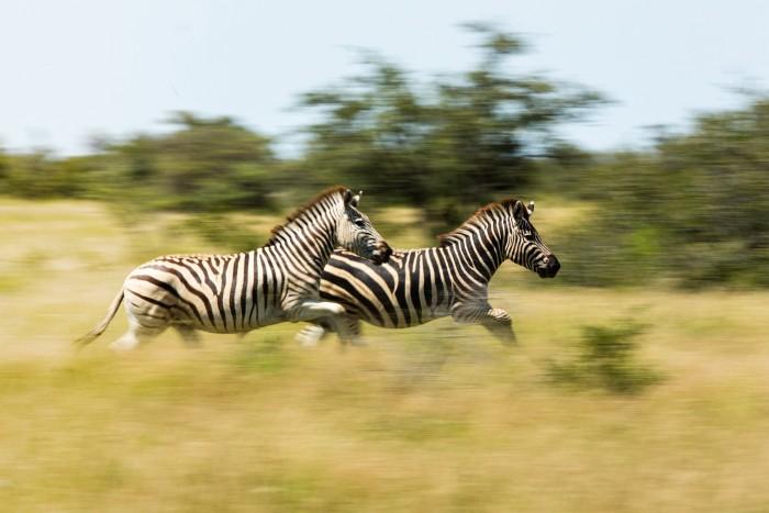 A dazzle of migrating zebra