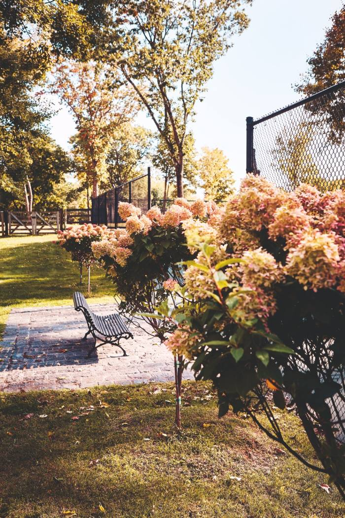 Hydrangeas in Westman's garden that her husband planted for her for Mother's Day