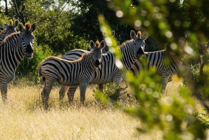 A dazzle of zebra enjoying the long grasses