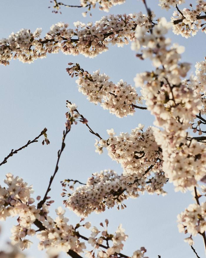 Blossom of theornamental cherry Prunus xyedoensis