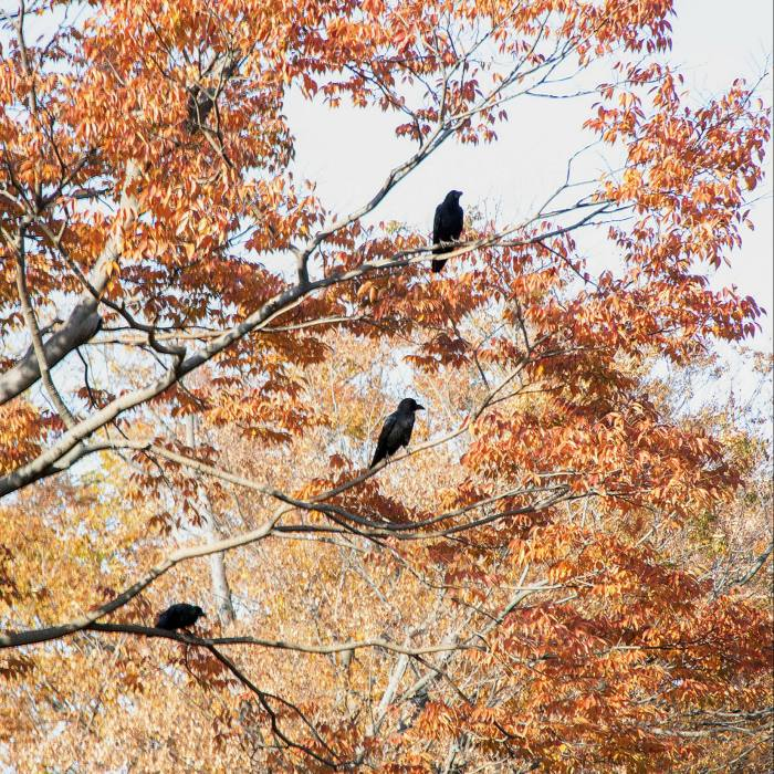 ... overlooked by three of Yoyogi's ubiquitous crows