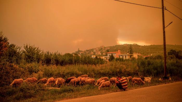 Shepherd's warning: Watching a flock beneath a sky illuminated by wildfires in Greece on August 2021