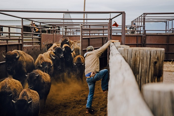 A rancher leaps over a fence as bison enter a corral