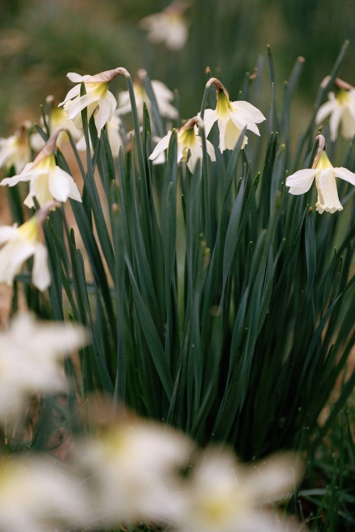 The swan's neckdaffodil, Narcissus moschatus